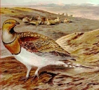 Pin-tailed Sandgrouse (Pterocles alchata) ©Drawing WikiC