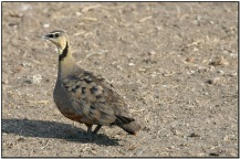Yellow-throated Sandgrouse (Pterocles gutturalis) by Daves BirdingPix