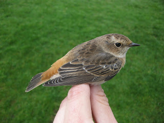 Redchat-Redstart-Whinchat-hybrid.Norway-JonasLangbraten-photo