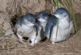 Little Penguin (Eudyptula minor) Family exiting burrow. ©WikiC