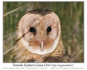 Eastern Grass Owl (Tyto longimembris) by Ian