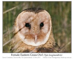 Ian's Bird of the Moment – Eastern GrassOwl