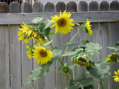 sunflower-by-fence