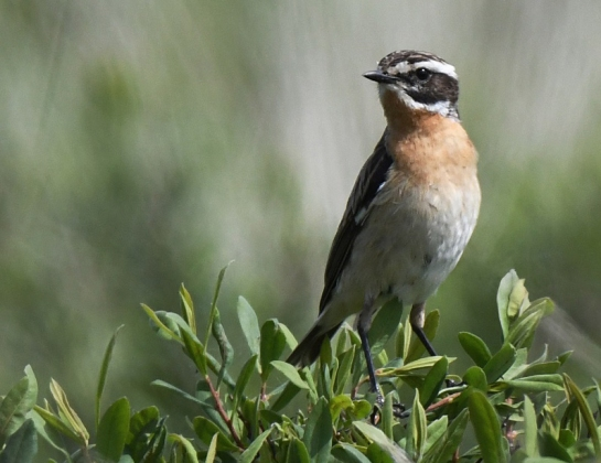 Whinchat-male.ScottishOrnithologistsClub