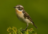 WHINCHAT photo credit: Parrotletsuk.typepad.com