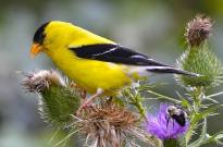 AMERICAN GOLDFINCH on thistle (Fredric D. Nisenholz / Birds & Blooms)