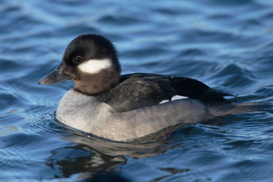 Bufflehead-female.TorontoCanada-Wikipedia