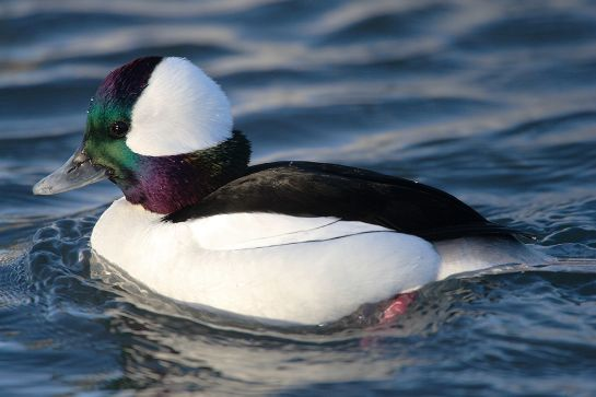 Bufflehead-male.TorontoCanada-Wikipedia