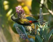 Fire-tailed Sunbird (Aethopyga ignicauda) by Peter Ericsson