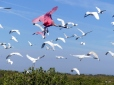 Mixed Flock Flyiing 122717 Merritt Is NWR by Lee