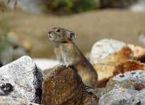 Northern Pika (Ochotona hyperorea) ©WikiC 2017 Photo Winner