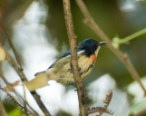 Flame-breasted Flowerpecker (Dicaeum erythrothorax) by MAMuin