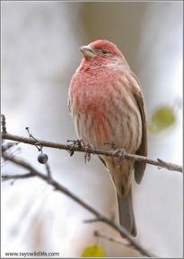 House Finch (Carpodacus mexicanus) (1) by Raymond Barlow