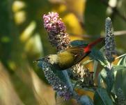 Fire-tailed Sunbird (Aethopyga ignicauda) by Peter Ericsson