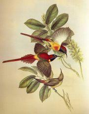 Fire-tailed Sunbird (Aethopyga ignicauda) ©WikiC