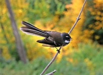 Friendly Fantail (Rhipidura albolimbata) ©Flickr Bernard Spragg