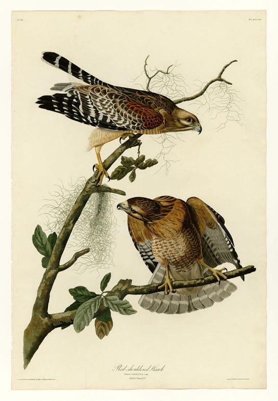 RedShouldered-Hawk.JJAudubon
