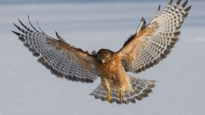 RedShouldered-Hawk.LucasTexas