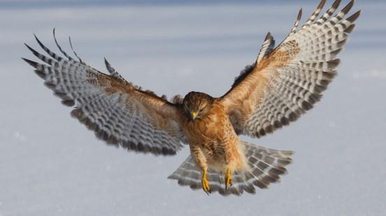 RedShouldered-Hawk.LucasTexas