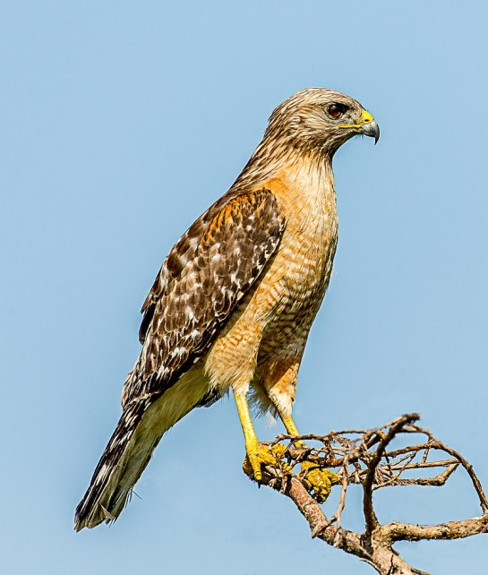 RedShouldered-Hawk.perched-wikipedia