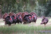 AMERICAN TURKEYS Schuylkill Center for Envir'l Educ'n photo