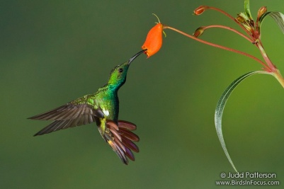 Green-breasted Mango (Anthracothorax prevostii) by Judd Patterson