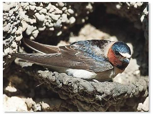 CliffSwallow-nesting.WhatWhenHow