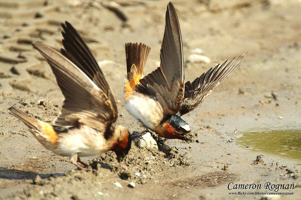 Cliff Swallows getting mud from a wall of mud ©CameronRognan