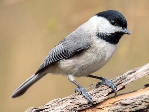 Carolina-Chickadee.AlbertoLopezTorres-photo