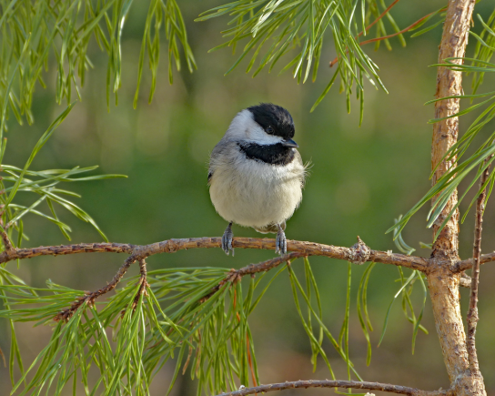 Carolina-Chickadee-FeederWatch.org-in-pine-tree