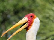 Yellow-billed Stork (Mycteria ibis) LPZ by Lee