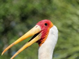 Birds of the Bible – Yellow-billed Storks at Zoo Tampa