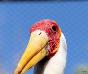 Yellow-billed Stork (Mycteria ibis) LPZ by Lee 032718