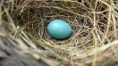 Robin Egg in Nest ©Lorl L Stalterl