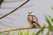 Pearl Kite (Gampsonyx swainsonii) ©Flickr Fernando Flores