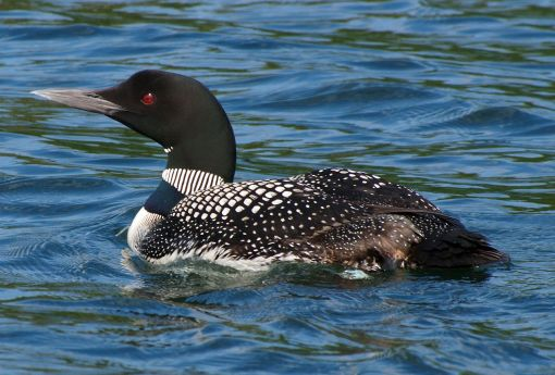 GreatNorthernDiver-CommonLoon.JohnPicken-Wisconsion