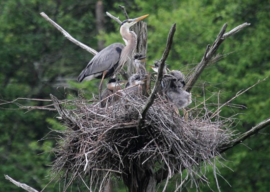 GreatBlueHeron-nest.NaturallyCurious-MaryHolland