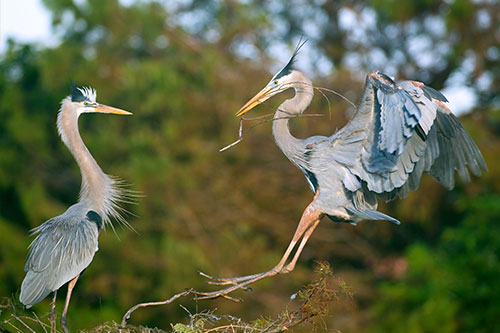 GreatBlueHerons.AmericanExpedition