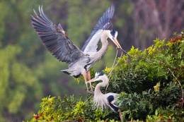 GREAT  BLUE  HERON  COUPLES,  CONTENTED  WITH  STEREOTYPICAL DOMESTICROLES