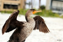 Double-crested Cormorant Juvenile at Indian RocksBeach