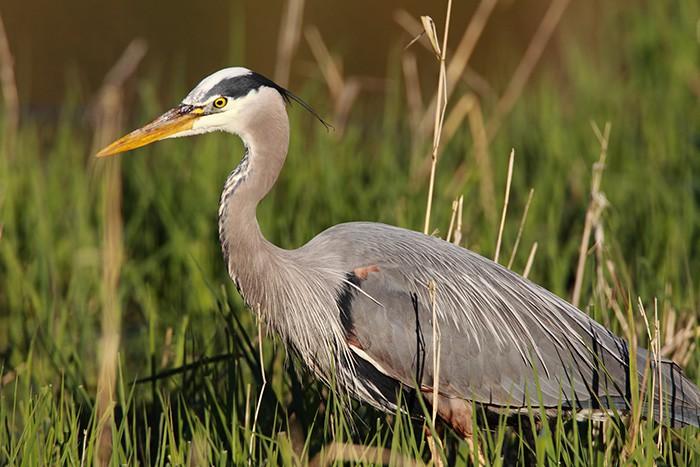 GreatBlueHeron-AudubonSociety-Portland