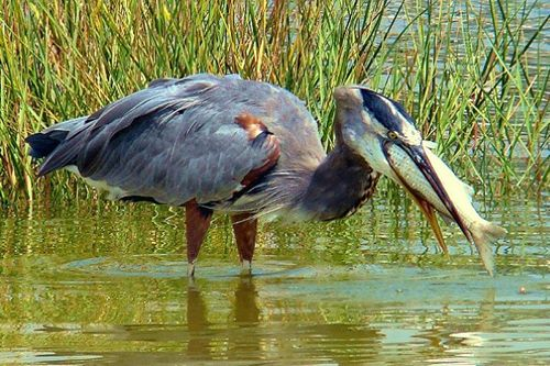 GreatBlueHeron-RockportTX.GreatEscapes