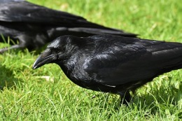 The Raven and the Old Woman's Garden – by EmmaFoster