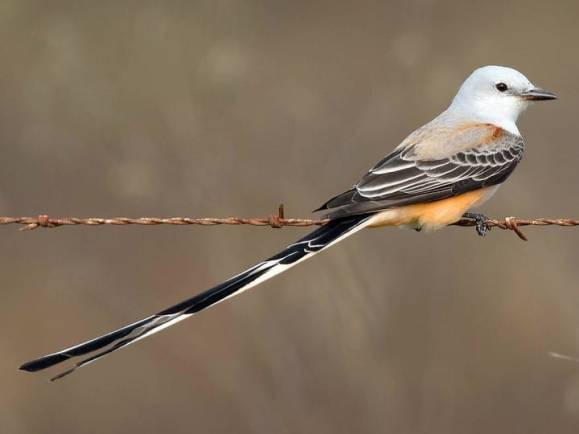 Scissortail-perching.Cornell-allaboutbirds