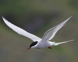 Arctic Tern, World ClassMigrant