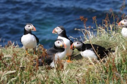 Atlantic Puffins on the Isle of Mull, Scotland