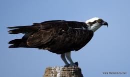 Osprey Feeding On His Catch of theDay