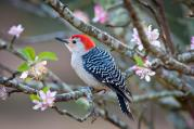 RED-BELLIED WOODPECKER photo credit: Helena Reynolds / Audubon Field Guide