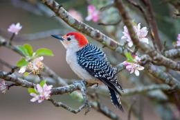 Nail-punctured Tire Leads to Red-bellied Woodpecker