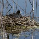 AMERICAN COOT on nest (photo credit: MDC Discover Nature)